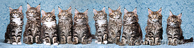 Panorama composite of Maine Coon kittens