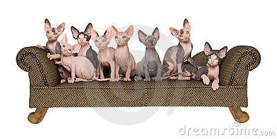 Panorama composite of Sphynx kittens