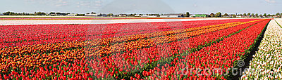 Panorama of flower fields
