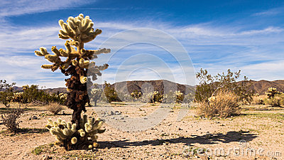 Panorama för banhoppningCholla kaktus
