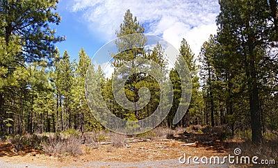 Panorama, ponderosa pines
