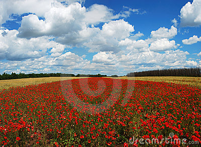 Panorama of wheat and poppy field
