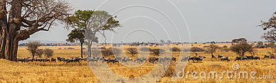 Panorama of wildebeast herd grazing