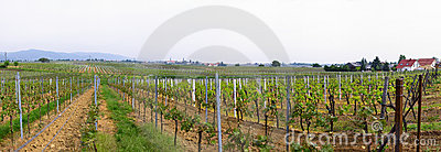 Panorama of wineyards in spring