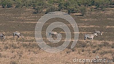 Panoramamening van het Wilde Afrikaanse Zebras-Weiden in een Weide in het Droge Seizoen stock videobeelden