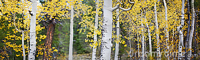 Panoramic of aspen trees