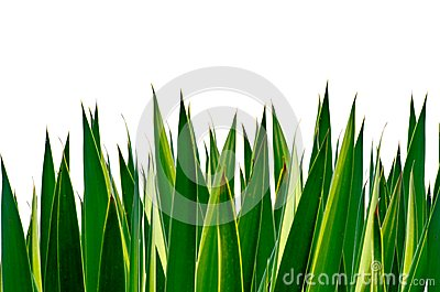 Panoramic Green leaves isolated