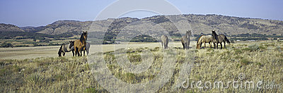 Panoramic image of wild horses