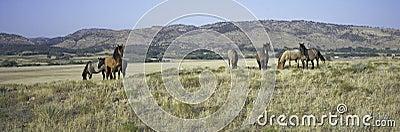 Panoramic image of wild horses