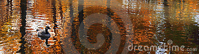 Panoramic reflection on the pond with duck