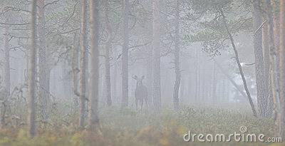 Panoramic view of moose in the mist