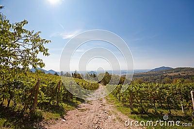 Panoramic view of a vineyard