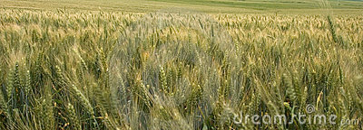 Panoramic Wheat Field