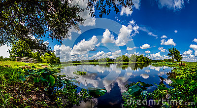 A Panoramic Wide Angle Shot of a Beautiful Lake with Summer Yellow Lotus Lilies, Blue Skies, White Clouds, and Green Foliage