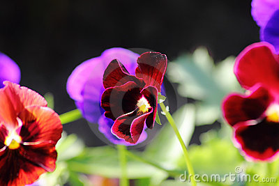 Pansies. A cultivated flower.