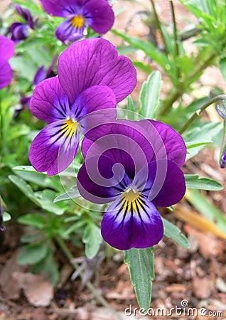 Pansies in the Garden