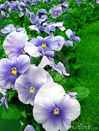 Pansies in Garden