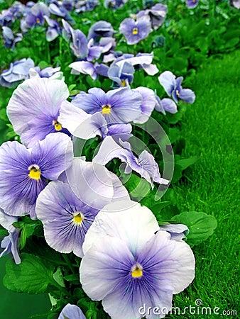 Pansies in Garden
