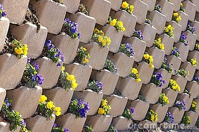 Pansies in a wall