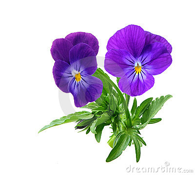 Free Pansy Stock Images - 5343384