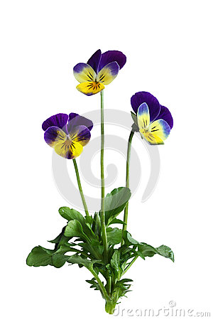 Free Pansy Flower Plant Stock Photography - 54231612