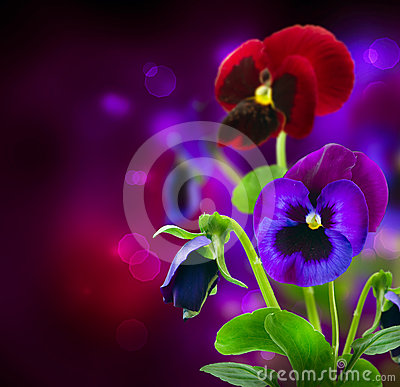 Free Pansy Flowers Over Black Royalty Free Stock Photos - 24381308