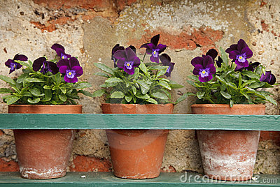 Pansy flowers in three old terracotta pots