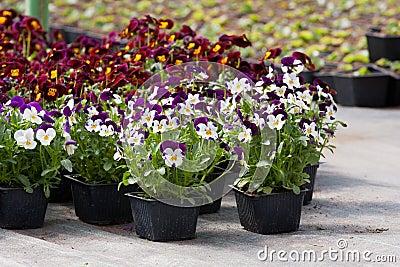 Pansy nursery pots