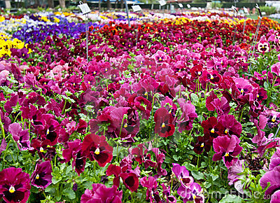 Pansy Varieties in flower beds