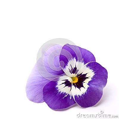 Free Pansy (Viola X Wittrockiana) Stock Image - 5464851