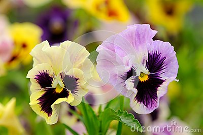 Pansy Violet Flowers on Flower Bed