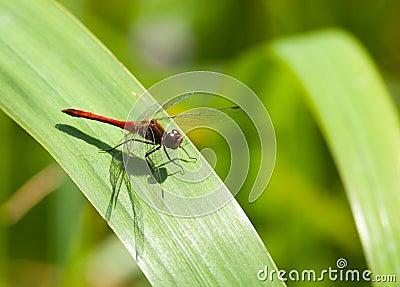 Pantala flavescens, Wandering Glider