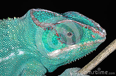 Panter Chameleon Portrait