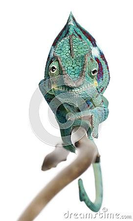 Panther Chameleon Nosy Be, Furcifer pardalis