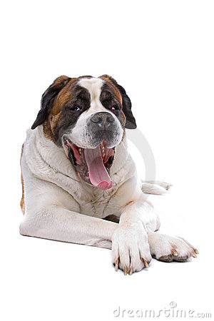 Panting Saint Bernard dog