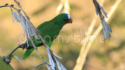 Papagaio de peito branco, albifrons do Amazona, Costa Rica vídeos de arquivo