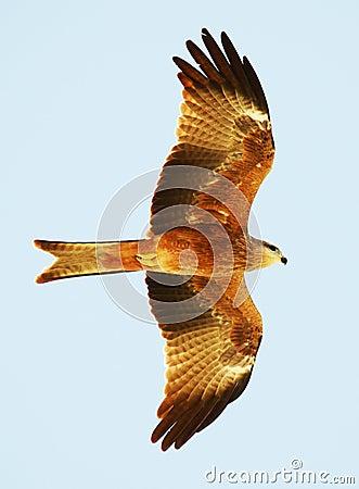 Papagaio preto no vôo