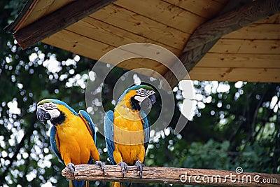 Papagei von Costa Rica