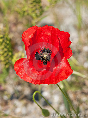 Free Papaver Royalty Free Stock Photography - 19609157