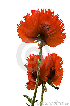 Papaver Orientale Stock Photos - Image: 14645403