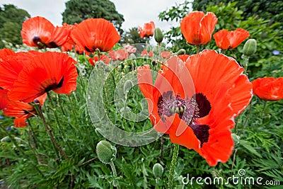Papaver Orientale, oriental poppy flowers