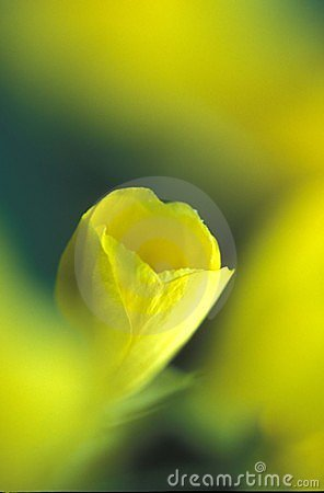 Papavero giallo