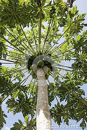Papaya tree with fruit