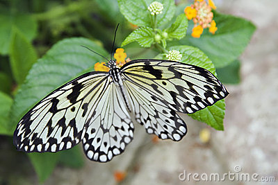 Paper Kite Butterfly 2