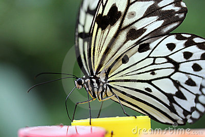 Paper Kite Butterfly detail (Idea leuconoe)