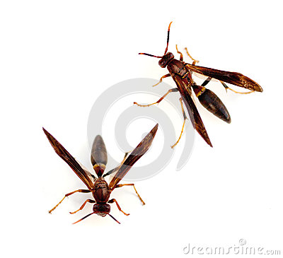 Free Paper Wasps Royalty Free Stock Image - 35365396