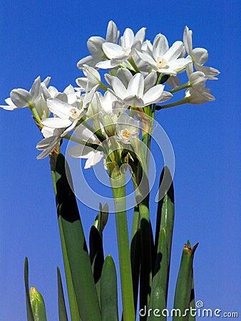 Paper White Narcissus Stock Photo