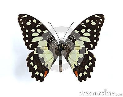 Papilio demodocus (Citrus butterfly)