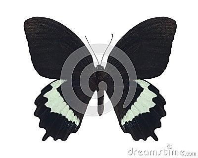 Papilio herengi