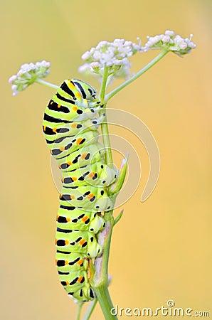 Free Papilio Machaon Caterpillar Stock Photo - 58528220